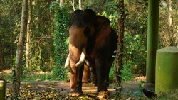 Kodanad Elephant Training Centre, one of the largest elephant training centers in Kerala. Since the capture of pachyderms was deemed illegal in the state,