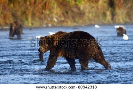kodiak brown bear looking for salmon in the river
