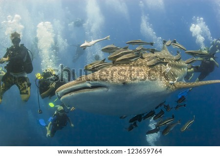 KOH TAO, THAILAND  - MAY 18: A Whaleshark followed by unindentified scuba divers near the island of Koh Tao on May 18, 2009. Koh Tao in the Gulf of Thailand is a popular destination for new divers.