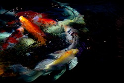 koi carp fish swimming underwater in pond on dark black background, colorful koi fish is beauty, feeding food in pond for carp fish