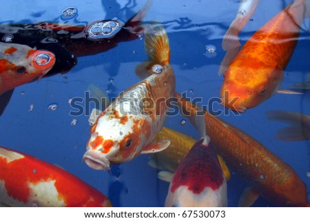 Koi carp in holding tank for sale stock photo 67530073 for Koi holding pool