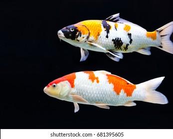 Stock Photo - Koi fish