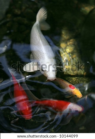 koi fish - stock photo