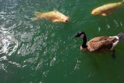 Koi Fish and Ducks in a Lake