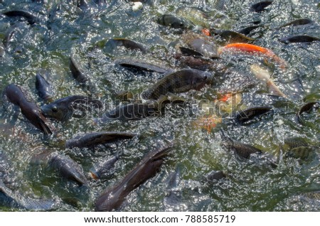 Koi Fish And Tilapia Live In The Water Together