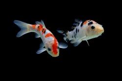 Koi fish Black red and white