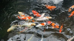 Koi fish. Colorful decorative fish float in an artificial pond