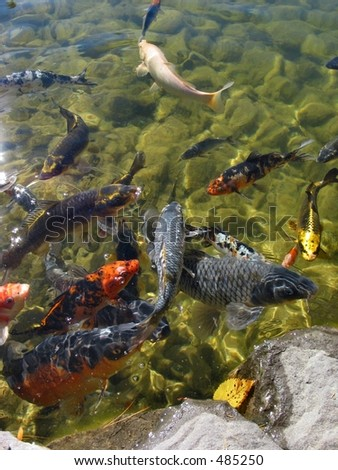 Koi fish eating stock photo 485250 shutterstock for Can you eat koi fish