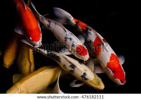 koi fish feeding and relaxing...