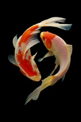 Koi fish fish, koi, animal, background, white, golden, carp, colorful, red