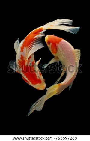 koi fish fish  koi  animal ...