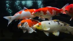 Koi fish. Group of various koi fish isolated on black background