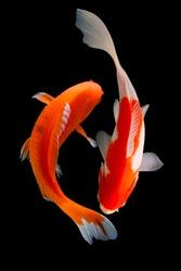 Koi fish, HItam, red, silver, gold