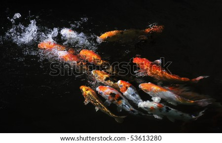 Koi fish in pond drink fresh water from man-made waterfall