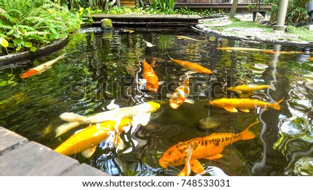 Koi fish in the pond #748533031