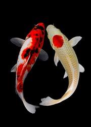 koi fish isolated black background gold