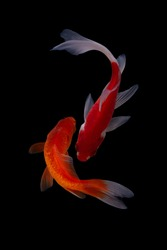 Koi fish isolated on black background. Colorfuls carp fish. Clipping path.