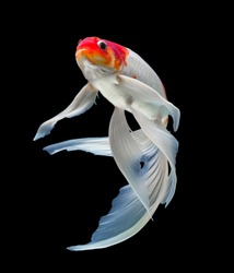 Koi fish isolated on black background with clipping path