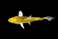Koi fish isolated on black background with clipping path, top view