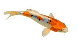 Koi fish isolated on white background