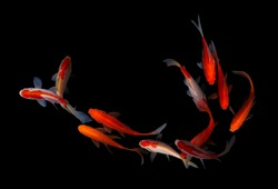 Koi fish japan colorful black background