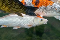 Koi fish life in fresh water. Beautiful koi fish