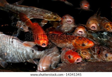 Koi fish lips humorous view of koi fish lips shallow for Koi carp pond depth
