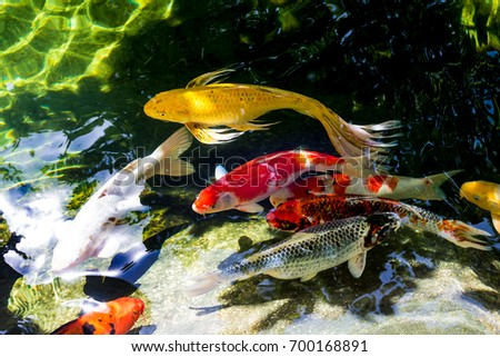 Koi fish or Fancy carp fish swimming in the  pond