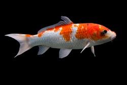 Koi fish Shiro Utsuri Koi fish Black background