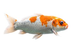 Koi fish Shiro Utsuri Koi fish white background