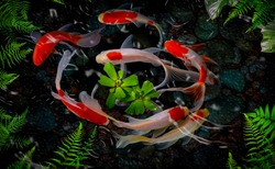 Koi fish swim artificial ponds with a beautiful background of green plants