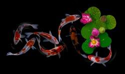Koi fish swim with Nymphaea nelumbo flowers in bloom