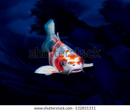 Koi fish swimming in the pond stock photo 132831311 for Koi pond you can swim in