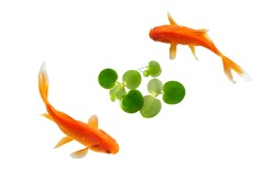 koi fish with frog bit on white background . top view