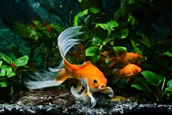 koi goldfish, commercial aqua trade breed of wild Carassius auratus carp, curious and cute comet-like long tail ornamental fish communicate in low light nature anubias design tank