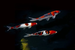 Koi Japan fancy Fish in pond. Isolate black background. Fancy Carp or Koi Fish are red,orange,yellow,white and black.
