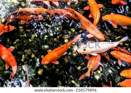 عکس استوک ماهی کوی (Koi)