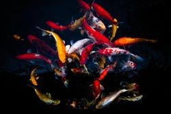 Koi swimming in a water garden,fancy carp fish,koi fishes,Koi Fish swim in pond.Isolate background is black.Fancy Carp or Koi Fish are red,orange