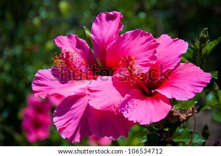 Kokai Cookei. Pink flower in the garden