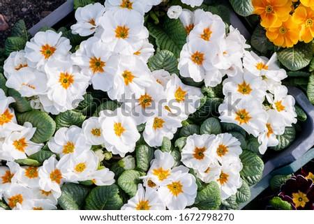 Kolorowe kwiaty w koszach fiołki, stokrotki, niezapominajki, bratki na rynku na sprzedaż. Zdjęcia stock ©