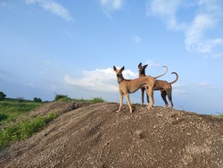 Kombai and kanni (chippiparai) dogs-Portrait against blue sky. Indian dog breeds landscape shot.