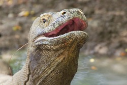 Komodo dragon biggest lizard on earth holding up its reptile head. The closeup with teeth in open predator mouth with nostrils above, Nusa Tenggara, Flores Indonesia