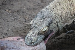Komodo Dragon - Close up eating meat and showing the predator animal