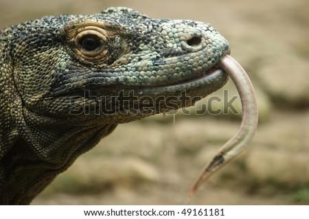 komodo dragon head close up