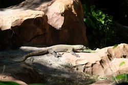 Komodo dragon (Latin Varanus komodoensis) enjoying the sun on a rock. Rock formation surround Komodo monitor lizard in the wild.