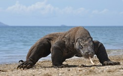 Komodo dragon only lives in Flores Island, Indonesia under protected habitat on Komodo National Park.
