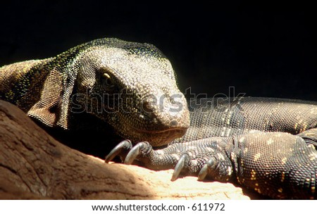 Komodo Dragon resting with partner