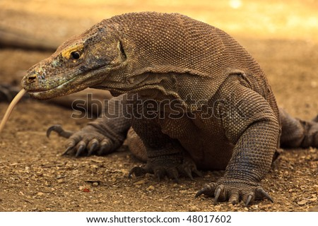 Komodo Dragon Split Tongue Out Ready to Attack