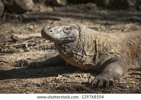 Komodo Dragon. The dangerous Komodo dragon also known as the Komodo monitor, is a large species of lizard. it is the largest living species of lizard, growing to a maximum length of 3 meters. - stock photo