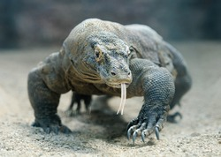 Komodo Dragon, the largest lizard in the world walks at camera with dangerous look
